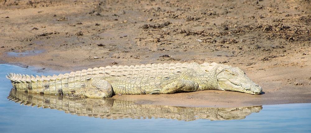 Resting Nile Crocodile