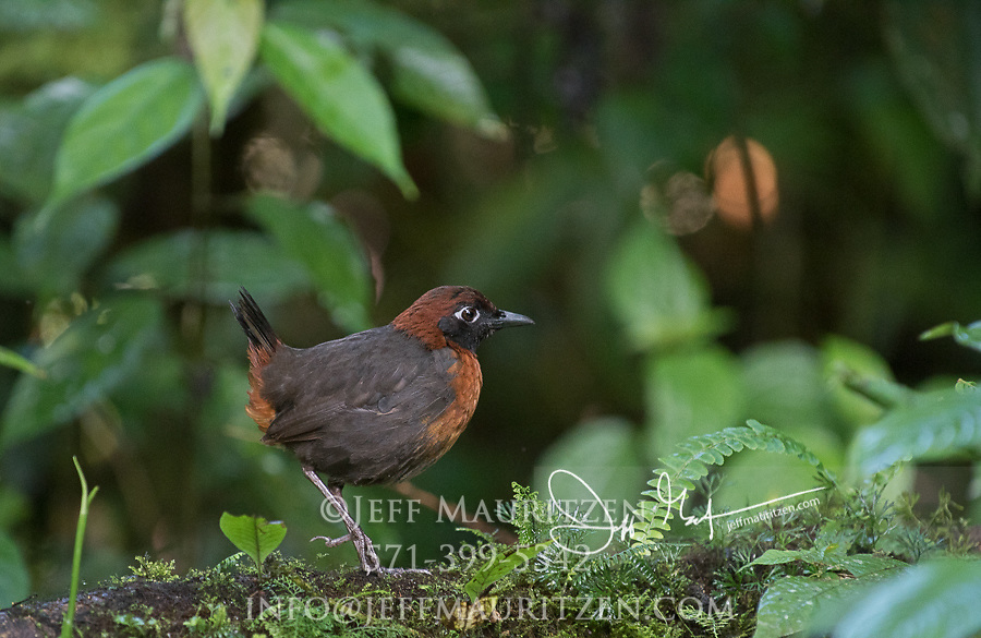 A Rufous-breasted Antthrush walks the forest floor in the Mindo-Nambillo cloud forest.