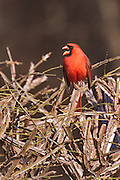 Dorset,VT., a MALE CARDINAL IN BURNING BUSH.  WINTER'S ENDING DRABNESS STILL HOLDS ON BUT THIS CARDINAL EXPLODES THROUGH THE DORMANT VEGETATION.