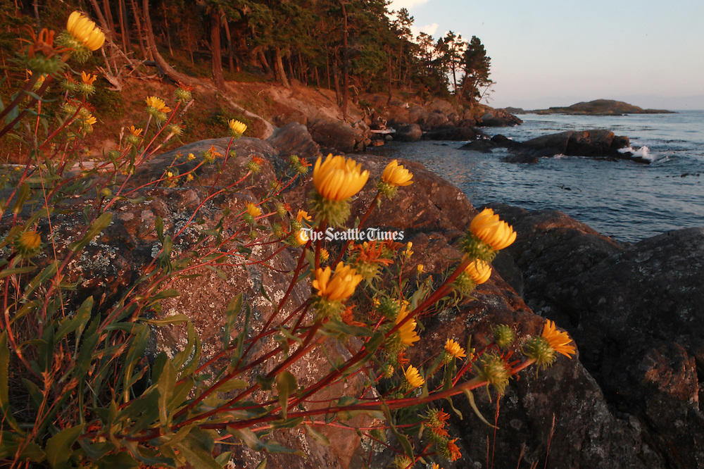 Wildflowers bloom along the Lopez Island shore at Shark Reef Park. (Ken Lambert / The Seattle Times)