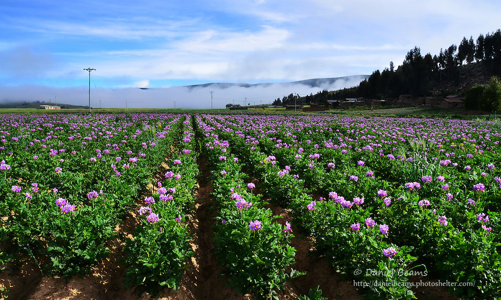 Potato field in Vacas, Cochabamba, Bolivia