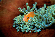 Pink anemonefish, Amphiprion perideraion, Fiji, Pacific Ocean