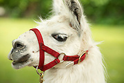 Close up image of white lama in face harness.