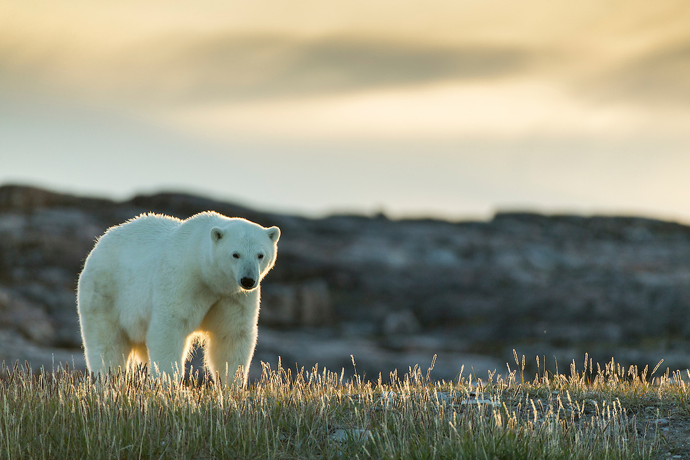 Canada, Nunavut Territory, Repulse Bay, Polar Bear (Ursus maritimus) standing at sunset in meadow along rocky coastline of Hudson Bay near Arctic Circle