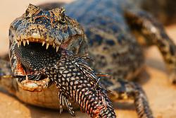 A  yacare caiman (Caiman crocodilus yacare)  eating an armoured catfish , Pantanal, Brasil, South America