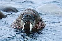 Norway Spitsbergen Walruse in water close up
