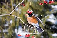 01382-05001 American Robin (Turdus migratorius) eating berry of American Cranberry Viburnum (Viburnum trilobum) in winter, Marion Co., IL