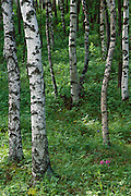 Asian White Birch (Betula platyphylla) forest, Mongolia