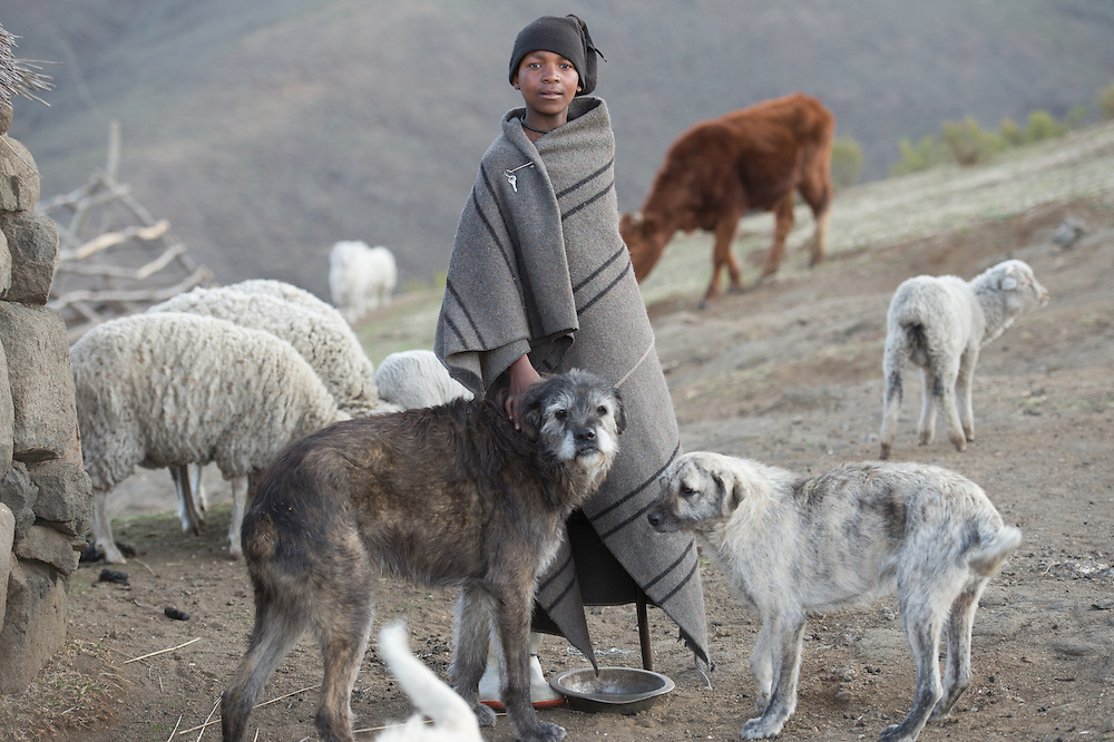 Young boy and his dogs with their sheep and cattle in their village in Lesotho, Africa