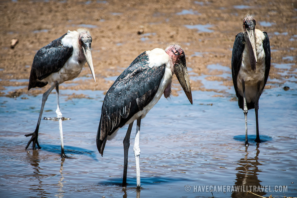 Three marabou storks stand in the shallows of the Tarangire River at Tarangire National Park in northern Tanzania not far from Ngorongoro Crater and the Serengeti.