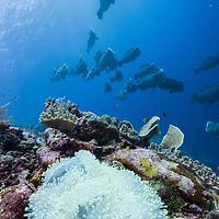 Schooling Bumphead Parrotfish, Bolbometopon muricatum, Pulau Hatta, Banda Sea, Maluku Islands, Indonesia.