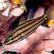 Fivelined Cardinalfish inhabit reefs. Picture taken Dumaguete, Philippines.
