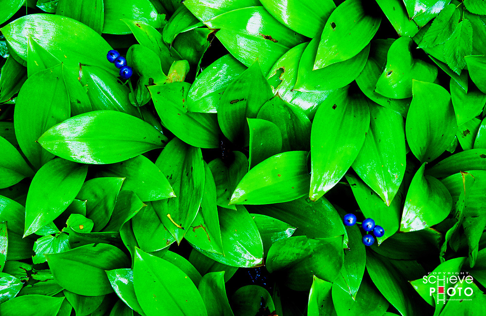 Blue berry plants after a rain shower.