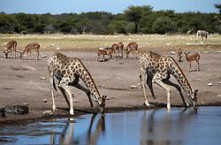 NAMIBIA ETOSHA 30APR14 - Angolan giraffes drink at a waterhole  near Namutoni, Etosha National Park, Namibia.<br /> <br /> <br /> <br /> jre/Photo by Jiri Rezac<br /> <br /> <br /> <br /> © Jiri Rezac 2014
