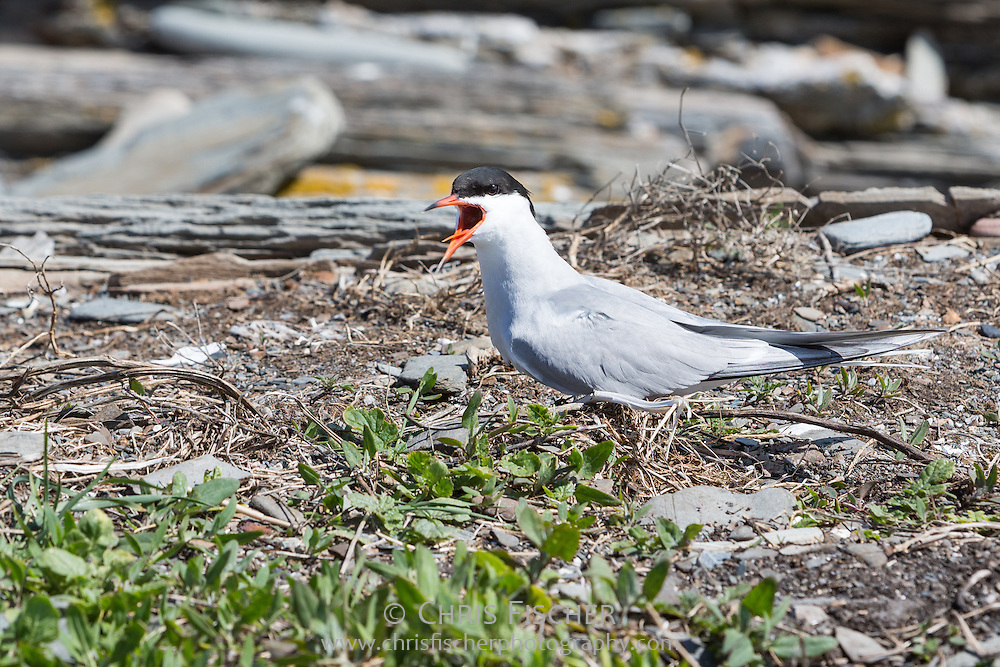 Common Tern (Sterna hirundo), Stratton Island, Maine.