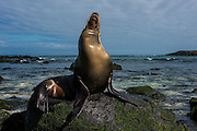 Galapagos Sea Lion (Zalophus wollebaeki) <br /> Puerto Baquerizo Moreno<br /> San Cristobal Island<br /> GALAPAGOS<br /> Ecuador, South America<br /> Endemic