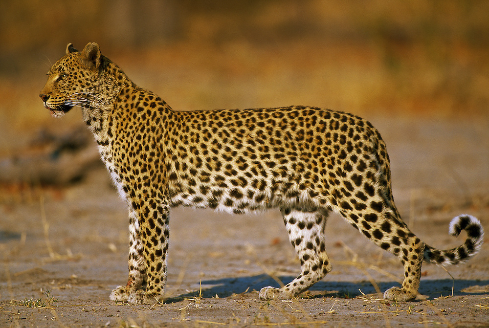 Botswana, Moremi Game Reserve, Adult Female Leopard (Panthera pardus) walking through dry mopane forest near Khwai River