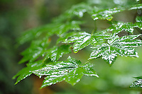 Vine Maple leaves. Mt. Rainier National Park, WA.
