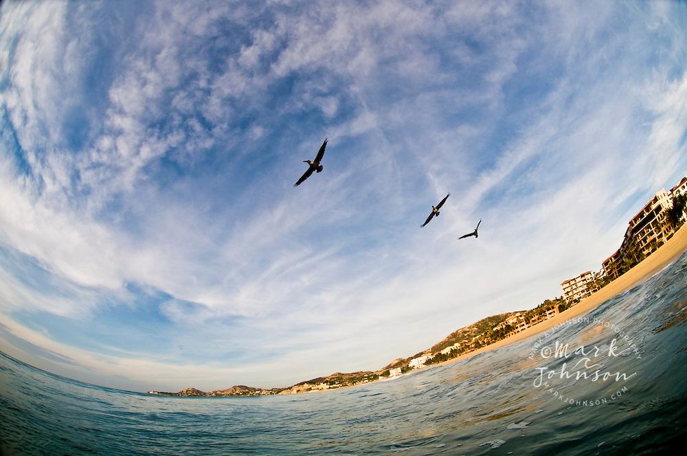 Pelicans gliding over ocean, Baja California Sur, Mexico