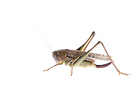 IFTE-NB-007706; Niall Benvie; Platycleis albopunctata grisea; Europe; Austria; Tirol; Fliesser Sonnenhänge; invertebrate arthropod insect grasshopper; horizontal; high key; brown white; controlled; female; adult; one; upland grassland meadow woodland edge; 2008; July; summer; strobe backlight; Wild Wonders of Europe Naturpark Kaunergrat