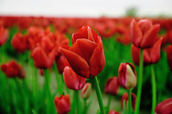 Fields of Red - Tulips - Washington
