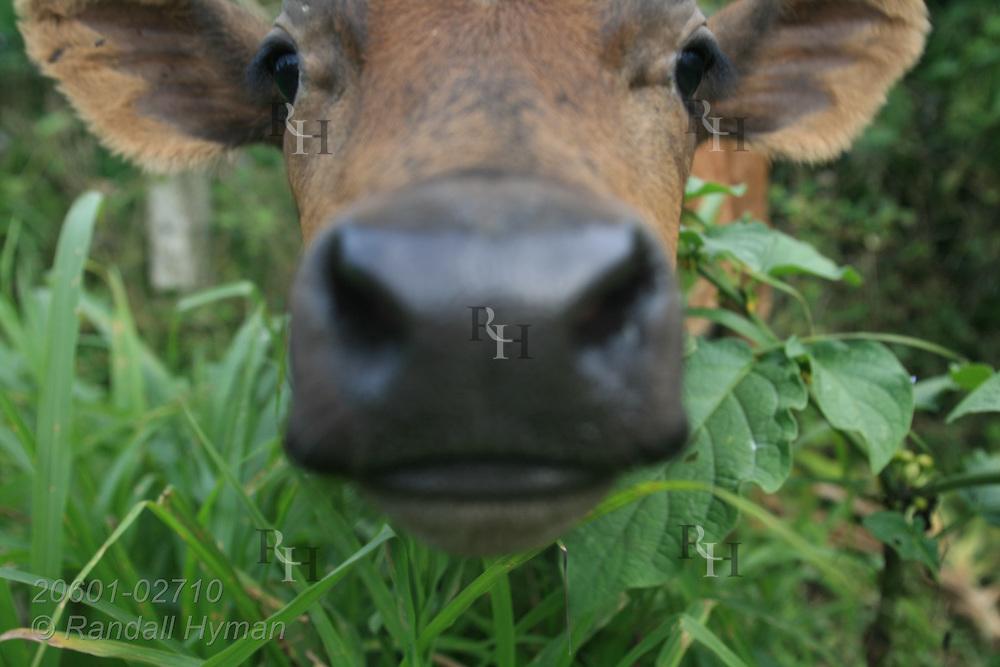 Calf peers through high grass at camera; La Fortuna, Costa Rica.