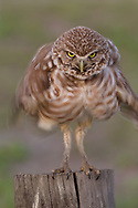 Burrowing owl holds it head perfectly still while shaking it body to rouse it feathers, © 2011 David A. Ponton