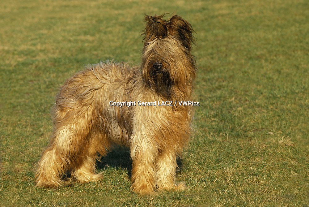 Briard Dog (old standard breed with cut ears)