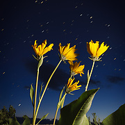 Arrowleaf Balsamroot is lit up after dark as the stars begin to appear in Eagle Colorado.