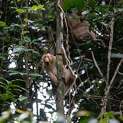 The southern pig-tailed macaque (Macaca nemestrina), also known as the Sundaland pigtail macaque and Sunda pig-tailed macaque, is a medium-sized macaque that lives in southern Thailand, Malaysia, and Indonesia.