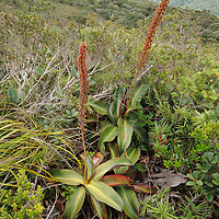 Plants of Nepenthes attenboroughii growing among the stunted montane vegetation near the mountain summit.  This newly discovered carnivorous plant is endemic to a single ultramafic mountain on the island of Palawan.