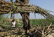 Workers load bunch of sugarcane to carriage in Hapur District in Uttar Pradesh, India on April 3, 2014. Uttar Pradesh is the 2nd largest sugar production state in India following Maharashtra. <br /> (Photo by Kuni Takahashi)