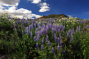 Lupine and Parsnip covered this hillside near Crested Butte, Colorado.