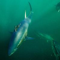 Atlantic bluefin tuna (Thunnus thynnus) off Antigonish, Nova Scotia, Canada. October .