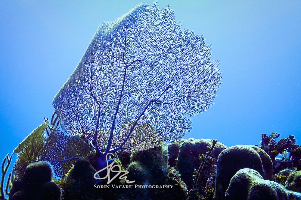 Delicate seafan against the light filtering from the surface 50 feet above