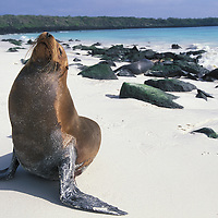 South America, Ecuador, Galapagos Islands, Galapagos Sea Lion (Zalophus californianus) resting on sandy beach on Española Island