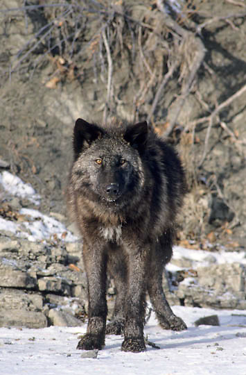 Gray Wolf, (Canis lupus) Portrait of black wolf along bank of river. Rocky mountains. Montana. Captive Animal.
