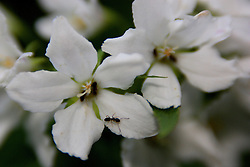 01 June 2007: Shots from the backyard, flowering shrub, white flower, black ant
