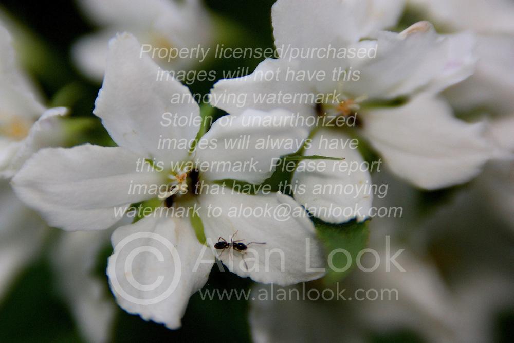 01 June 2007: Shots from the backyard, flowering shrub, white flower, black ant