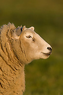 Domestic sheep (Ovis orientalis aries), ewe, Norfolk.