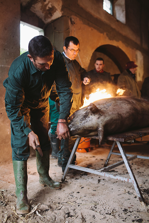 A slaughtered Iberico pig is flamed in order to remove the skin and hair. Extramedura, Spain.