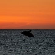 Gansbaai Syd Afrika 2003  <br /> South Africa<br /> <br /> Syd kapare hoppar i solnedg&aring;ngen southern right whale<br /> hav indiska oceanen<br /> <br /> <br /> <br /> FOTO : JOACHIM NYWALL KOD 0708840825_1<br /> COPYRIGHT JOACHIM NYWALL<br /> <br /> ***BETALBILD***<br /> Redovisas till <br /> NYWALL MEDIA AB<br /> Strandgatan 30<br /> 461 31 Trollh&auml;ttan<br /> Prislista enl BLF , om inget annat avtalas.
