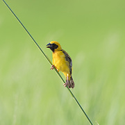 The Asian golden weaver (Ploceus hypoxanthus) is a species of bird in the Ploceidae family. Its natural habitats are subtropical or tropical seasonally wet or flooded lowland grassland, swamps, and arable land.