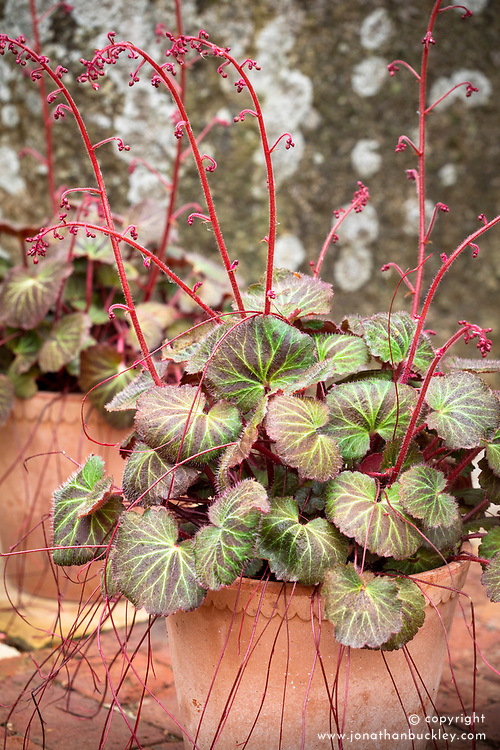 Saxifraga 'Kinki Purple' (stolonifera) in a terracotta pot