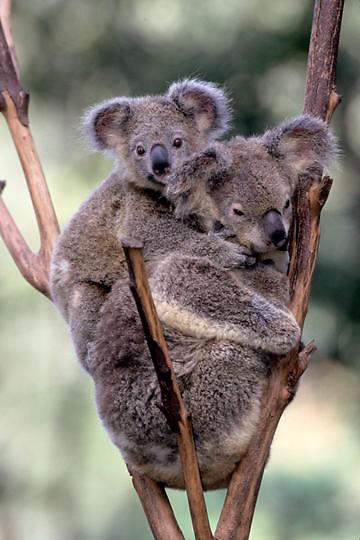 Koala, (Phascolarctos cinereus) Mother and baby. Australia.