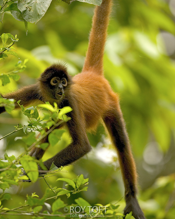 Spider Monkey (Ateles geoffroy) hanging from branch by tail, Osa Peninsula, Costa Rica