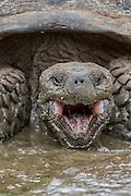 Galapagos Giant Tortoise (Geochelone nigrita)<br /> El Chato Ranch<br /> Highlands<br /> Santa Cruz Island <br /> Galapagos<br /> Ecuador,  South America