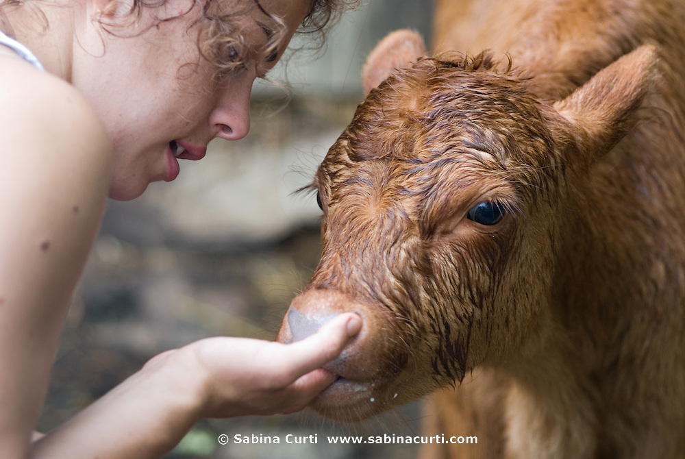 After a good rain, a calf sucks on the fingers of a summer intern on Moon in the Pond farm, Sheffield, MA
