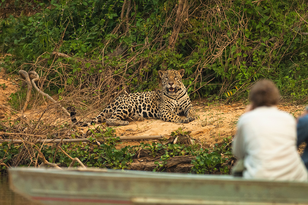 Jaguar (Panthera onca) - male near Porto Joffre.<br /> Pantanal. Largest contiguous wetland system in the world. Mato Grosso do Sul Province. BRAZIL.  South America.<br /> There is much size variation among these cats but in the Pantanal they are larger than those found in the rainforests. These are the largest of the spotted cats in the Americas. They are both diurnal and nocturnal and hunt at any time of the day. Territorial and generally solitary. They may feed on large mammals such as capybaras, peccaries and deer as well as turtles, tortoises, caiman, birds, fish and smaller mammals. They may kill livestock and do in the Pantanal which is why they are still hunted there by some ranchers.<br /> HABITAT &amp; RANGE: Found in a variety of habitats from rainforests to wet grasslands and arid scrub up to 2000 m in elevation. North, Central and South America. From Mexico to Argentina. Formerly in sw USA and Uruguay where now extirpated.
