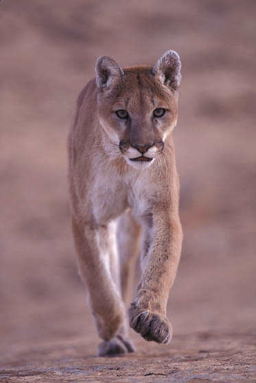 Mountain Lion or Cougar, (Felis concolor) In canyonlands of southern Utah running.  Red rock country. Captive Animal.